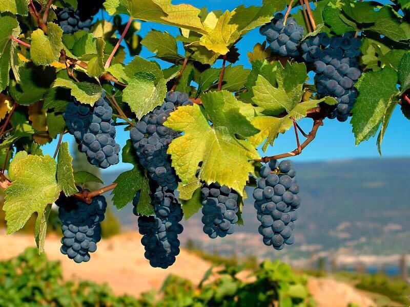 波尔多葡萄